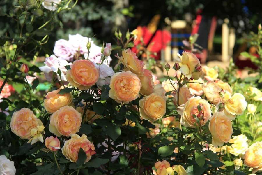 Розарий на даче своими руками — 130 фото красивого оформления и дизайна цветника